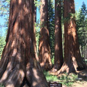 Drzewa Sekwoje W USA